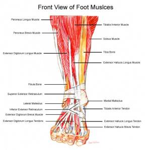 foot-muscles