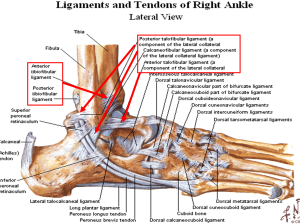lateral_ankle1309291771388